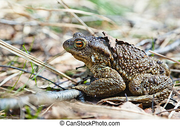 The toad who has woken up after hibernation