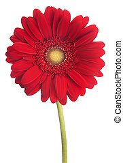 african daisy gerbera isolated on white