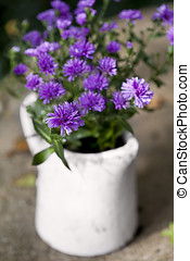 Asters - Autumn purple asters in a jug