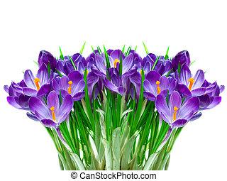 Purple crocus flower - Purple crocus isolated on white...