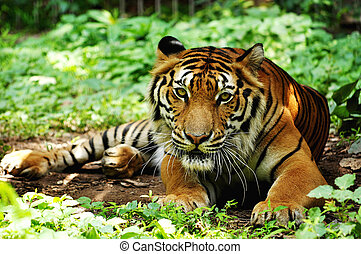 Indochinese tigers live in secluded forests in hilly to...