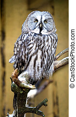 Great Grey Owl (Strix nebulosa) - The Great Grey Owl Strix...