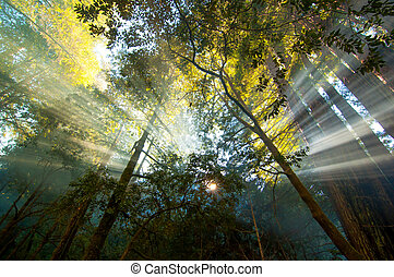 sun rays bursting in forest - sunbeams streaming through the...