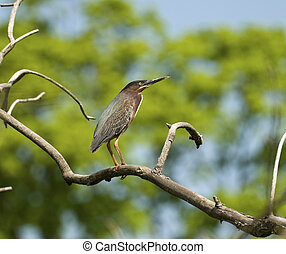 Green-Backed Heron - Green-back heron perched on a branch...