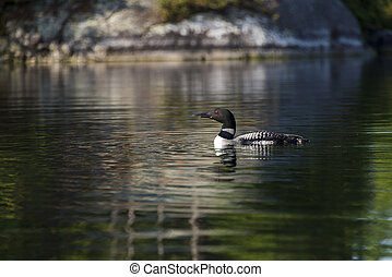 Common Loon on Northern Lake - Common loon floating on a...