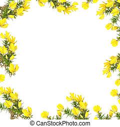 Gorse Flower Beauty