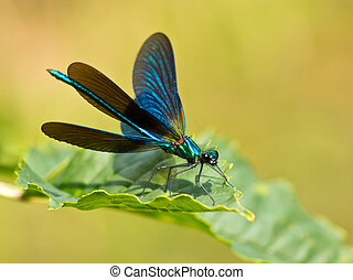 Damselfly on a leaf - Closeup of a Beautiful Demoiselle...