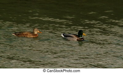 Ducks swimming on the river