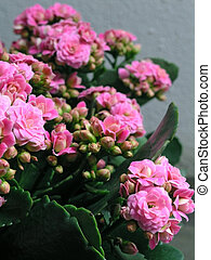 Kalanchoe flower blossoms on grey background
