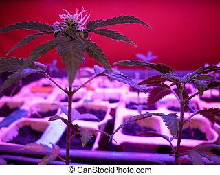 amnesia, autoflovering(Cannabis, Sati
