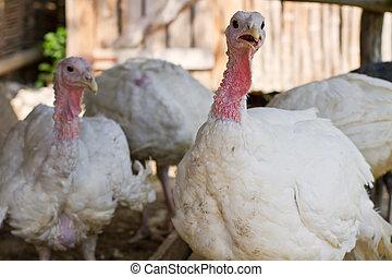 White turkeys feeding in a barnyard