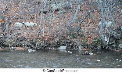 Sheep flock passing through forest next to river