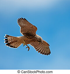 Kestrel's first hunting (Falco tinn - The young kestrel on...