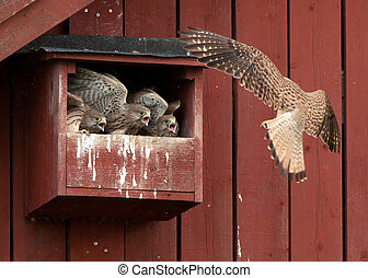 Feed me first - The female kestrel arriving to three hungry...