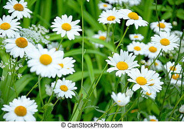 Wild daisies in the meadow