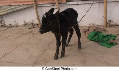sacred little cow calf in Varanasi street near Ganges, India