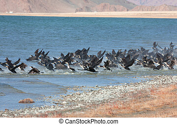 Great Cormorant Lake in northwestern Mongolia. Large flock...