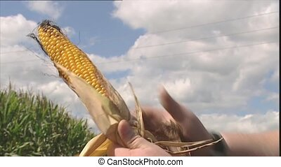 Man pulls leaves from a corn cob