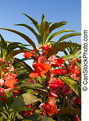 Rose Balsam flower - Rose Balsam or Impatiens balsamina Linn...