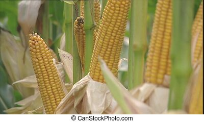 Ripe yellow corn cobs for harvestin