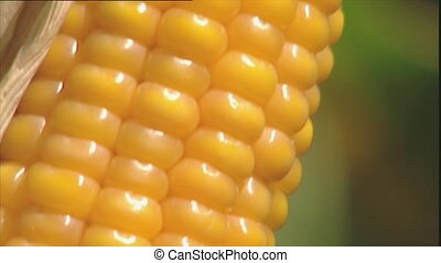 Macro of ripe corn on the cob - Macro of ripe yellow corn or...