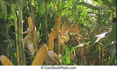 View of a corn crop ready for harve