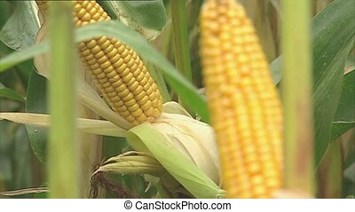 Fresh corn cobs on the plant - Fresh corn cobs with the...