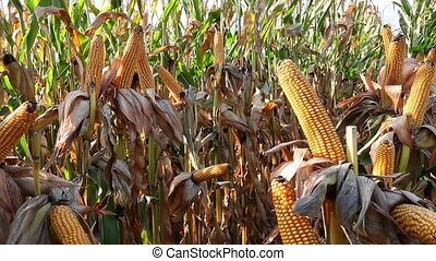 Dried corn on the cob that has been allowed to ripen on the...