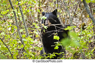 black bear foraging - a black bear foraging among foliage