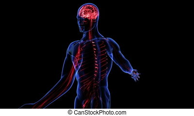 Nervous system - Human nervous system. Loop