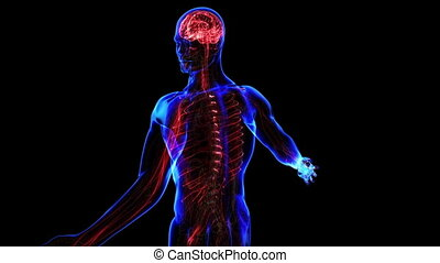 Nervous system - All human body systems Nervous system...