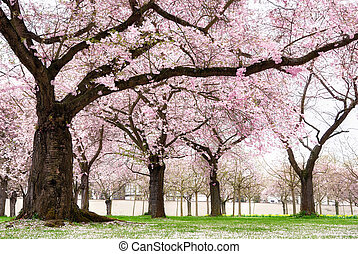 Blossoming cherry trees with dreamy feel - Blossoming cherry...