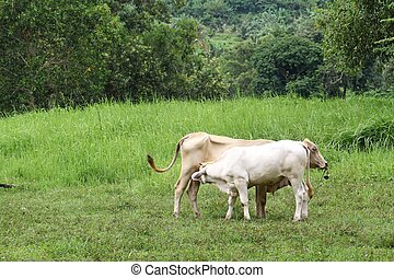 two thai cows in grass land