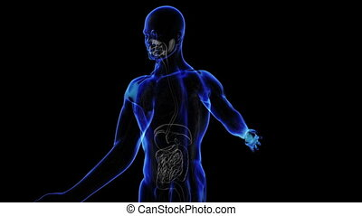 Digestive System - Transition body - digestive system -...