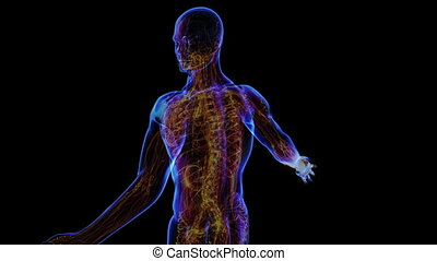 Lymphatic System - All human body systems. Transition body -...