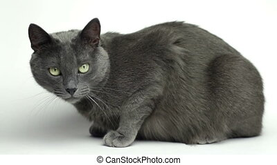 domestic cat over white background