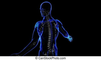 Human skeleton - Transition body - skeleton - body. Loop