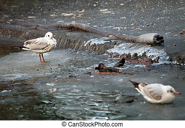 Female Gulls by winter stream - Blackheaded gull female...