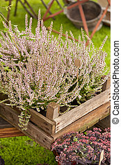 Heather in wooden boxes at garden market, Calluna Vulgaris