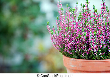 Purple Heather - Still life with Heather in a clay pot