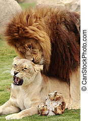 lions - two beautiful lions making love