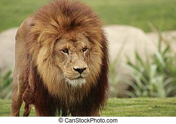 lion - picture of a fantastic male lion
