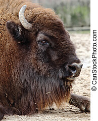 american bison - detail of the head of a beautiful american...