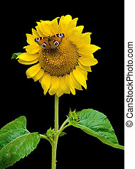 butterfly sitting on a sunflower on a black background -...