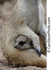 Suricate - Picture of a lovely and young suricate baby