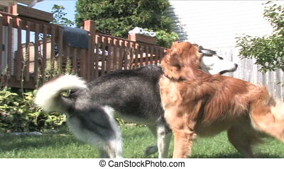 Dogs Playing - A siberian husky and golden retriever play...