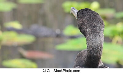 Alligator and Bird - Rack focus from an Anhinga closeup to...