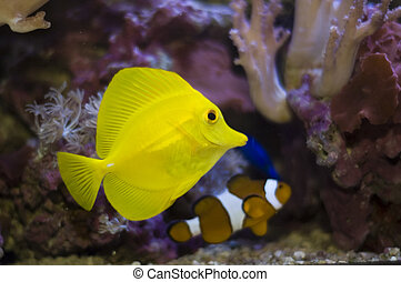 tropical fishes - aquarium fishes and corals. zebrasoma and...