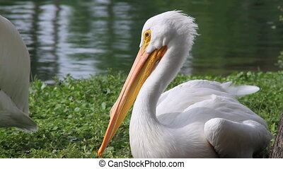 American White Pelicans - Panning across a couple American...