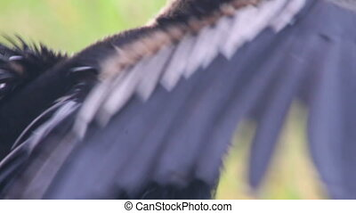 Anhinga (2 shots) - Includes two shots. An Anhinga dries its...